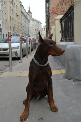 imagenes de perros doberman