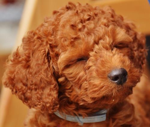 imagenes de poodle