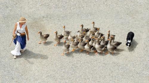 Border Collie  pastoreando patos