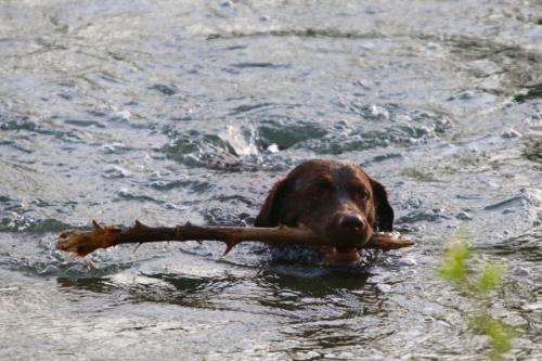 water-branch-dog-animal-swim-mammal-734062-pxhere.com
