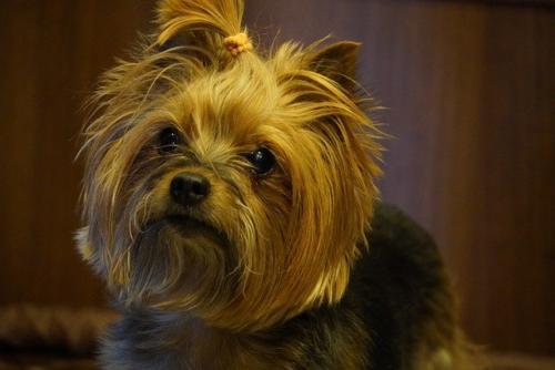 imágenes de perros yorkshire