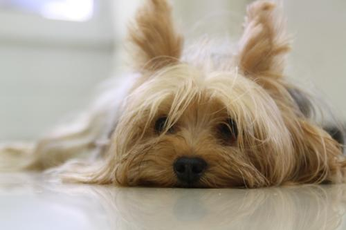 imágenes de yorkshire terrier_640