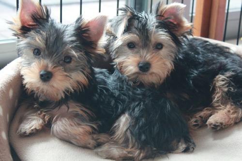 fotos de perros yorkshire