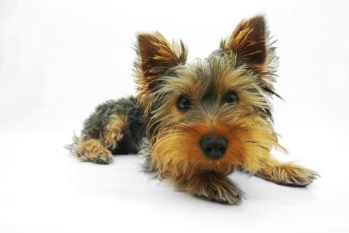 fotos yorkshire terrier