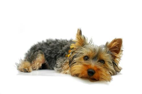 imagenes yorkie terrier