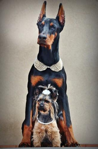 imagenes de yorkshire terrier